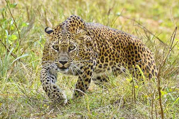 Fivea arrested for killing Leopard in Kerala